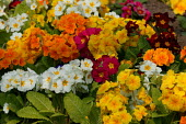 Council flower bed with primroses, Bromsgrove. - John Harris - 2000s,2007,Council,Council Services,Council Services,double,eni environmental issues,flower,flowering,flowers,garden,gardens,grow,growing,hybrid,hybrids,Local Authority,orange,outdoors,Park,parks,plan
