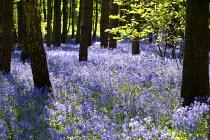 Bluebell walk in a wood, Warwickshire - John Harris - 28-04-2007