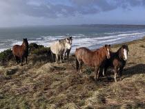 Horses on the cliffs above Newgale beech, St Brides Bay, Pembrokeshire. - John Harris - 04-02-2008