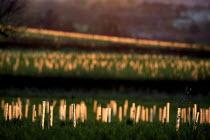 The Forest of Dennis. Newly planted broadleaf saplings, Warwickshire. Felix Dennis has been creating a forest of native oak, ash, lime, birch, hornbeam, willow, rowan, holly, and hazel. it is a regist... - John Harris - 23-04-2008