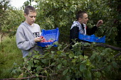 Teenagers picking the plum crop. Much of the harvest will be left to rot due to the shortage of migrant workers to pick the fruit. Freemans Fruit Farm Snitterfield, Warwickshire - John Harris - 2000s,2008,adolescence,adolescent,adolescents,agricultural,agriculture,boy,boys,capitalism,capitalist,child,Child Labor,child labour,CHILDHOOD,children,crop,crops,Diaspora,EBF Economy,employee,employe