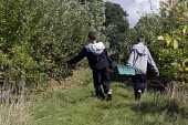 Teenagers picking the apple crop. Much of the harvest will be left to rot due to the shortage of migrant workers to pick the fruit. Freemans Fruit Farm Snitterfield, Warwickshire - John Harris - 2000s,2008,adolescence,adolescent,adolescents,agricultural,agriculture,apple,apples,boy,boys,capitalism,capitalist,child,Child Labor,child labour,CHILDHOOD,children,crop,crops,Diaspora,EBF Economy,emp