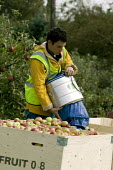 Migrant workers picking apples under the Seasonal Agricultural Workers Scheme. Warwickshire. Many are students from Bulgaria and Romania as well Poland. - John Harris - 2000s,2008,agricultural,agriculture,apple,apples,BME minority ethnic,Bulgarian,Bulgarians,capitalism,capitalist,crop,crops,Diaspora,eastern,EBF Economy,employment agencies,employment agency,english,eu
