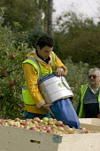 Migrant workers picking apples under the Seasonal Agricultural Workers Scheme. Warwickshire. Many are students from Bulgaria and Romania as well Poland. - John Harris - 2000s,2008,agricultural,agriculture,apple,apples,Bulgarian,Bulgarians,capitalism,capitalist,crop,crops,Diaspora,eastern,EBF Economy,employment agencies,employment agency,english,eu,european,europeans,