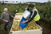 Migrant workers picking apples under the Seasonal Agricultural Workers Scheme. Warwickshire. Many are students from Bulgaria and Romania as well Poland. - John Harris - 08-09-2008