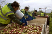 Migrant workers picking apples under the Seasonal Agricultural Workers Scheme. Warwickshire. Many are students from Bulgaria and Romania as well Poland. - John Harris - 2000s,2008,agricultural,agriculture,apple,apples,BME minority ethnic,Bulgarian,Bulgarians,by hand,capitalism,capitalist,crop,crops,Diaspora,EARNINGS,eastern,EBF,EBF Economy,Economic,Economy,employee,e
