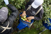 Migrant workers picking apples under the Seasonal Agricultural Workers Scheme. Warwickshire. Many are students from Bulgaria and Romania as well Poland. - John Harris - 2000s,2008,agricultural,agriculture,apple,apples,BME minority ethnic,Bulgarian,Bulgarians,by hand,capitalism,capitalist,crop,crops,Diaspora,eastern,EBF Economy,employment agencies,employment agency,en
