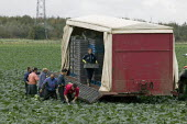 Migrant workers, mostly form Easten Europe, picking cabbages, Greenfield Produce, Leeds - John Harris - 2000s,2008,agricultural,agriculture,by hand,cabbage,cabbages,capitalism,capitalist,crop,crops,cut,cutting,Diaspora,EARNINGS,eastern,EBF,EBF Economy,Economic,Economy,employee,employees,Employment,emplo