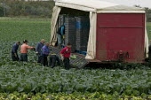 Migrant workers, mostly form Easten Europe, picking cabbages, Greenfield Produce, Leeds - John Harris - 2000s,2008,agricultural,agriculture,by hand,cabbage,cabbages,capitalism,capitalist,crop,crops,cut,cutting,Diaspora,EARNINGS,eastern,EBF Economy,employment agencies,employment agency,EQUALITY,eu,Europe