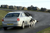 An elderly man walking his dog from his car along a road in the hills above Merthyr Tydfil - John Harris - 2000s,2008,a,age,ageing population,alongside,animal,animals,canine,CLJ,cruel,cruelty,dog,dogs,driver,drivers,driving,elderly,eni environmental issues,exercise,exercises,exercising,greyhound,greyhounds