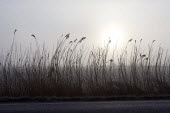 Reeds on the edge on a rural road at dawn. Gloustershire. - John Harris - 28-01-2000