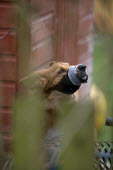Noisy barking dog with a muzzle and gaffer tape wrapped around its jaws in a garden. - John Harris - 24-02-2009