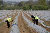 Migrant workers picking asparagus from plastic polytunnels, Warwickshire. - John Harris - 24-04-2009