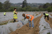 A young Russian woman gangmaster checks their work as migrant workers pick asparagus from plastic polytunnels, Warwickshire. - John Harris - 2000s,2009,agricultural,agriculture,boss,bosses,by hand,capitalism,capitalist,crop,crops,Diaspora,EARNINGS,eastern European,EBF,Economic,Economy,employee,employees,Employment,employment agencies,emplo