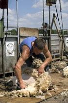 Sheep shearing on a farm in Wawickshire. - John Harris - 24-06-2009