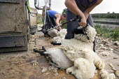 Sheep shearing on a farm in Wawickshire. - John Harris - 2000s,2009,agricultural,agriculture,animal,animals,board,by hand,capitalism,capitalist,clip,clipping,cut,cutter,cutters,cutting,domesticated ungulate,domesticated ungulates,EARNINGS,EBF,Economic,Econo