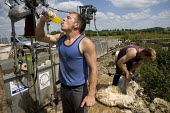 Sheep shearing on a farm in Wawickshire. - John Harris - 2000s,2009,agricultural,agriculture,animal,animals,board,break time,by hand,capitalism,capitalist,clip,clipping,cut,cutter,cutters,cutting,domesticated ungulate,domesticated ungulates,drink,drinking,d