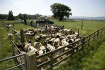 Farmworkers treating Jacob sheep for pests. - John Harris - 02-07-2009