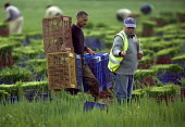 Onion pickers in a field in Warwickshire. - John Harris - 22-07-2009
