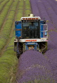 Lavender harvesting on a farm in the Cotswolds. The plants are harvested using a purpose built machine harvester. This is designed to cut the hedge neatly into a perfect dome, the oil is then extracte... - John Harris - 2000s,2009,agricultural,agriculture,capitalism,capitalist,Cotswold Hills,Cotswolds,crop,crops,cut,cutter,cutters,cutting,driver,drivers,driving,EBF,Economic,Economy,employee,employees,Employment,farm,