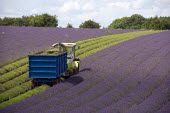 Lavender harvesting on a farm in the Cotswolds. The plants are harvested using a purpose built machine harvester. This is designed to cut the hedge neatly into a perfect dome, the oil is then extracte... - John Harris - 2000s,2009,agricultural,agriculture,capitalism,capitalist,Cotswold Hills,Cotswolds,crop,crops,cut,cutter,cutters,cutting,EBF,Economic,Economy,employee,employees,Employment,farm,Farm Worker,farm worker