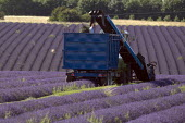 Lavender harvesting on a farm in the Cotswolds. The plants are harvested using a purpose built machine harvester. This is designed to cut the hedge neatly into a perfect dome, the oil is then extracte... - John Harris - 2000s,2009,agricultural,agriculture,by hand,capitalism,capitalist,Cotswold Hills,Cotswolds,crop,crops,cut,cutter,cutters,cutting,EBF,Economic,Economy,employee,employees,Employment,farm,Farm Worker,far
