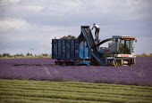 Lavender harvesting on a farm in the Cotswolds. The plants are harvested using a purpose built machine harvester. This is designed to cut the hedge neatly into a perfect dome, the oil is then extracte... - John Harris - 2000s,2009,agricultural,agriculture,balance,balancing,by hand,capitalism,capitalist,Cotswold Hills,Cotswolds,crop,crops,cut,cutter,cutters,cutting,EBF,Economic,Economy,employee,employees,Employment,fa