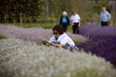 Tourists visiting a Lavender farm in the Cotswolds taking pictures of the clolorful plants. - John Harris - ,2000s,2009,agricultural,agriculture,Amateur Photographer,asian,asians,camera,cameras,capitalism,capitalist,Cotswold Hills,Cotswolds,country,countryside,crop,crops,cut,cutter,cutters,cutting,day out,D