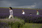 Tourists visiting a Lavender farm in the Cotswolds. - John Harris - 25-07-2009