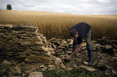 A young worker rebuilding a dry stone wall on the edge of a field of barley in the Cotswalds, a traditional and methodical process. - John Harris - 05-08-2009