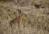 A rare brown hare in a field of straw, Rutland. They are in decline and the intensification of agriculture has been a major factor. - John Harris - 23-08-2009