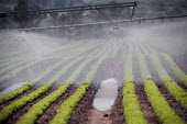 Irrigation of salad crops by traveling sprinkler, Warwickshire. - John Harris - 2010,2010s,agricultural,agriculture,capitalism,capitalist,country,countryside,crop,crops,EBF,Economic,Economy,ENI,environment,Environmental issues,farm,farmed,farming,field,fields,grow,grower,growers,
