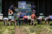 Migrant workers, lettuce production on a farm in Warwickshire - John Harris - 28-06-2010