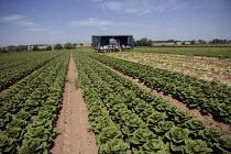 Migrant workers, lettuce production on a farm in Warwickshire - John Harris - 28-06-2010