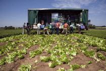 Migrant workers, lettuce production on a farm in Warwickshire - John Harris - 2010,2010s,by hand,capitalism,capitalist,casual workers,crop,crops,cut,cutter,cutters,cutting,Czech,Czechs,Diaspora,EARNINGS,eastern European,eastern Europeans,EBF,Economic,Economy,employee,employees,