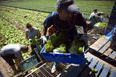 Migrant workers, lettuce production on a farm in Warwickshire - John Harris - 2010,2010s,agricultural,agriculture,by hand,capitalism,capitalist,casual workers,crop,crops,cut,cutter,cutters,cutting,Czech,Czechs,Diaspora,EARNINGS,eastern European,eastern Europeans,EBF,Economic,Ec