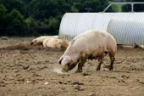 Pigs on a farm in Suffolk. - John Harris - 2010s,2011,agriculture agricultural,animal,animal animals,animals,capitalism,capitalist,domesticated ungulate,domesticated ungulates,EBF Economy,farm,farm farming,farm farms,field fields,free range,In