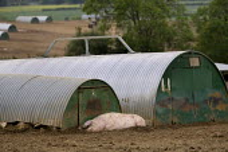 Pigs sleeping on a farm in Suffolk. - John Harris - 2010s,2011,agriculture agricultural,animal,animal animals,animals,asleep,capitalism,capitalist,domesticated ungulate,domesticated ungulates,EBF Economy,EXHAUSTED,EXHAUSTION,farm,farm farming,farm farm