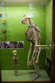 Adult and juvenile skeletons of Apes, Evolution display, The Natural History Museum, Oxford. - John Harris - 03-03-2012