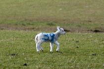 No 39, Numbered spring lamb, North Wales - John Harris - 19-03-2013