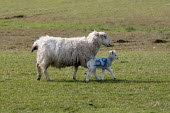 No 39, Numbered spring lambs and ewes, North Wales - John Harris - 19-03-2013