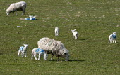 No 39. Numbered spring lambs and ewes, North Wales - John Harris - 19-03-2013