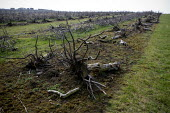 Ripped out and uprooted plum tree orchard, Vale of Evesham. Worcestershire. Fruit production continues to decline in the area. - John Harris - 22-03-2012