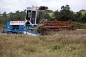 A farmworker flailing Oilseed Rape prior to harvesting with a combine harvester, Bidford, Warwickshire - John Harris - 19-07-2012
