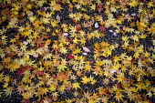 Autumn leaves on the pavement from a Japanese maple, Coventry - John Harris - 17-11-2012