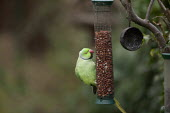 A Rose-ringed parakeet, �Psittacula krameri in a garden, feeding on a nut feeder, Stratford-upon-Avon, Warwickshire. These birds are descended from pets and aviary birds which have escaped or were del... - John Harris - 21-02-2013