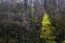 Spring growth in woodland, Durlip Hill, Warwickshire. Hawthorn - John Harris - 11-05-2013