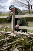 An elderly landworker re-laying a hedge in Midland or Bullock style on his smallholding, Warwickshire - John Harris - 2010s,2013,age,ageing population,agricultural,agriculture,artisan,artisans,Bullock,conservation,country,countryside,craft,craftsman,Crataegus monogyna,cut,cutting,elderly,employee,employees,Employment