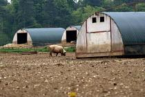 Pigs in a field, Norfolk - John Harris - 2010s,2013,agricultural,agriculture,animal,animals,capitalism,capitalist,domesticated ungulates,EBF,Economic,Economy,farm,farmed,farming,farmland,farms,field,fields,herd,Industries,industry,livestock,