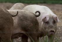Pigs in a field, Norfolk - John Harris - 19-05-2013